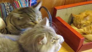 秋田市太平の奥の方にある猫カフェ「フォレスト・キャット」さんへも行ってきちゃいました。