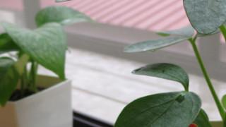 観葉植物育てるの初心者だけど挑戦してみることにしました。