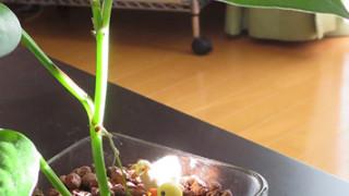 水差しポトスをハイドロカルチャーに植え付けました。
