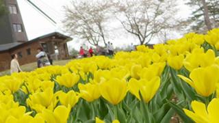 家族でお出かけはもちろんデートにもオススメ。岩手県軽米町のチューリップ園、フォリストパーク。