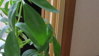 なんと、室内育ちの観葉植物の鉢にキノコが生えまして。