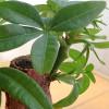 パキラを育てて約1年。室内で育てるパキラは日光の当て方と置き場所に気を使う。