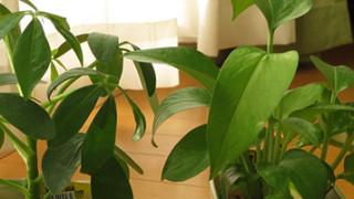 100円ショップで買った観葉植物の植え替えタイミングを考える。