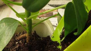 はじめての観葉植物の植え替え。カポック(シェフレラ)とポトスの鉢を新しくしました。